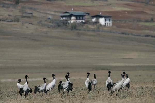 Black necked cranes, Phobjikha