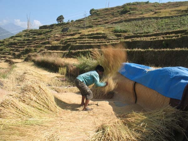 Harvesting - separating - the grain from the straw